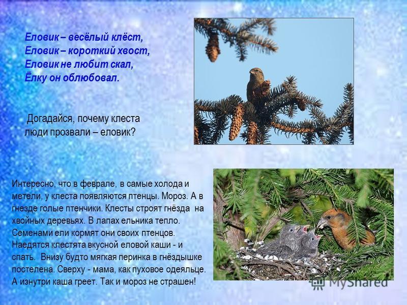 Еловик – весёлый клёст, Еловик – короткий хвост, Еловик не любит скал, Ёлку он облюбовал. Догадайся, почему клеста люди прозвали – еловик? Интересно, что в феврале, в самые холода и метели, у клеста появляются птенцы. Мороз. А в гнезде голые птенчики