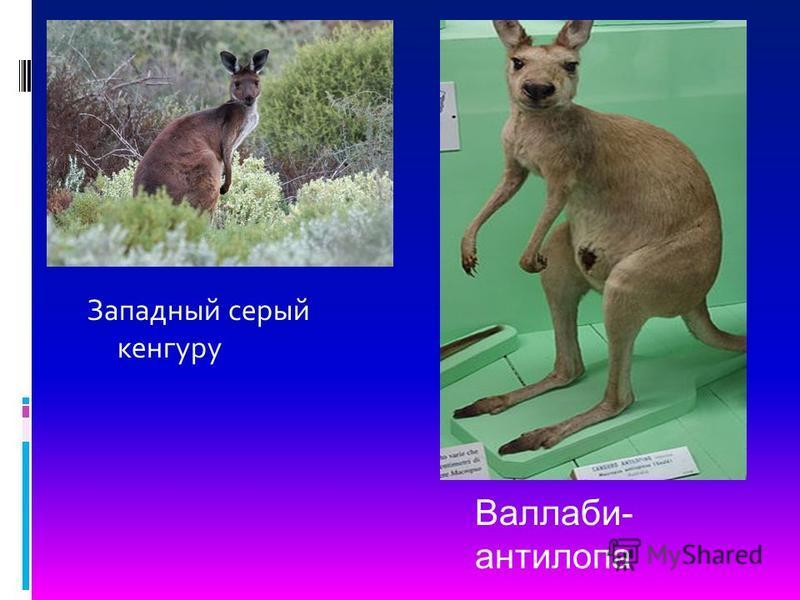 Западный серый кенгуру Валлаби- антилопа