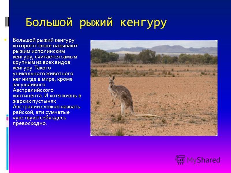 Большой рыжий кенгуру Большой рыжий кенгуру которого также называют рыжим исполинским кенгуру, считается самым крупным из всех видов кенгуру. Такого уникального животного нет нигде в мире, кроме засушливого Австралийского континента. И хотя жизнь в ж