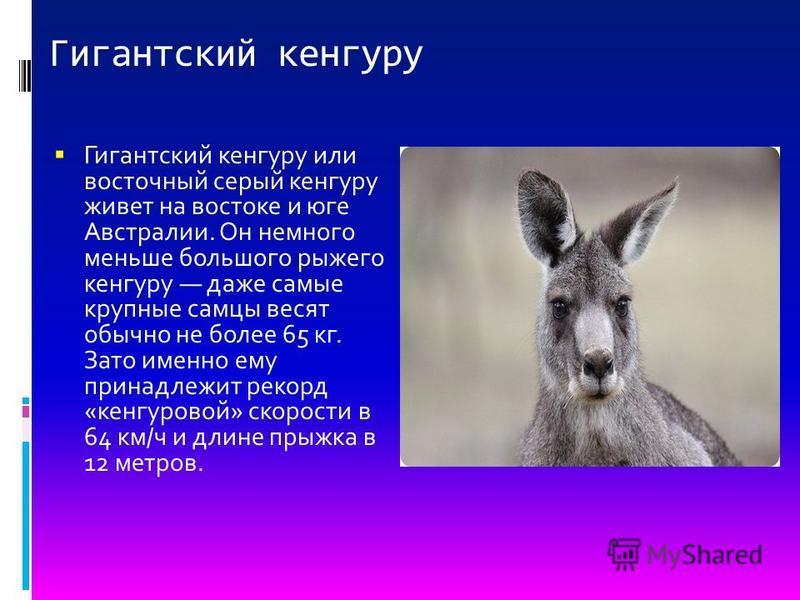 Гигантский кенгуру Гигантский кенгуру или восточный серый кенгуру живет на востоке и юге Австралии. Он немного меньше большого рыжего кенгуру даже самые крупные самцы весят обычно не более 65 кг. Зато именно ему принадлежит рекорд «кенгуровой» скорос