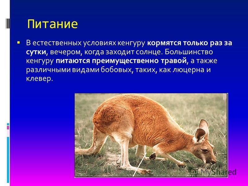 Питание В естественных условиях кенгуру кормятся только раз за сутки, вечером, когда заходит солнце. Большинство кенгуру питаются преимущественно травой, а также различными видами бобовых, таких, как люцерна и клевер.