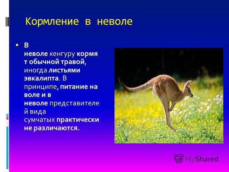 Кормление в неволе В неволе кенгуру кормя т обычной травой, иногда листьями эвкалипта. В принципе, питание на воле и в неволе представителей вида сумчатых практически не различаются.
