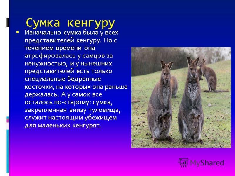 Сумка кенгуру Изначально сумка была у всех представителей кенгуру. Но с течением времени она атрофировалась у самцов за ненужностью, и у нынешних представителей есть только специальные бедренные косточки, на которых она раньше держалась. А у самок вс