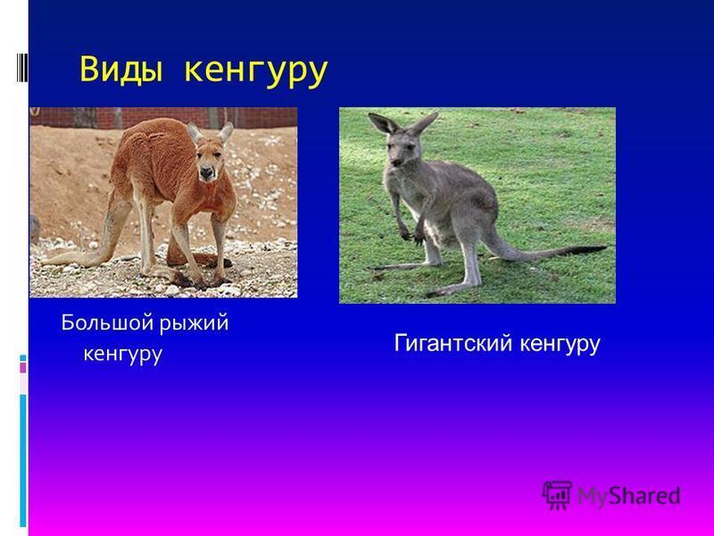 Виды кенгуру Большой рыжий кенгуру Гигантский кенгуру