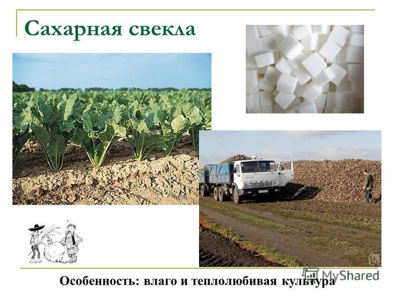 Сахарная свекла Особенность: влаго и теплолюбивая культура
