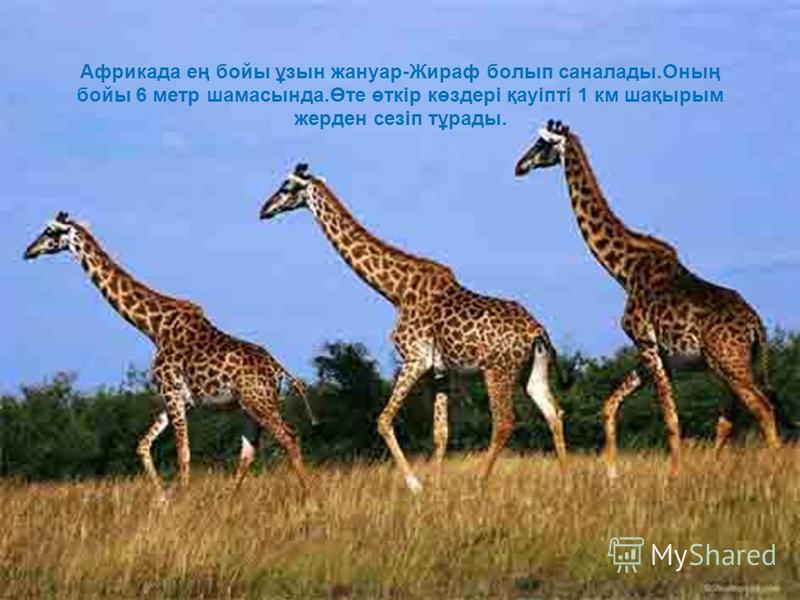 Африкада ең бойы ұзын жануар-Жираф болып саналады.Оның бойы 6 метр шамасында.Өте өткір көздері қауіпті 1 км шақырым жерден сезіп тұрады.