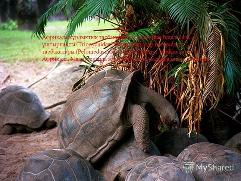 Африкада құрлықтық тасбақалар (Testudinidae) кездеседі, үштырнақты (Trionychidae), сонымен қатар пеломедуз тасбақалары (Pelomedusinae) бар. Пеломедуз тасбақалар Африкада, Мадагаскарда жəне Оңтүстік Америкада көп таралған.