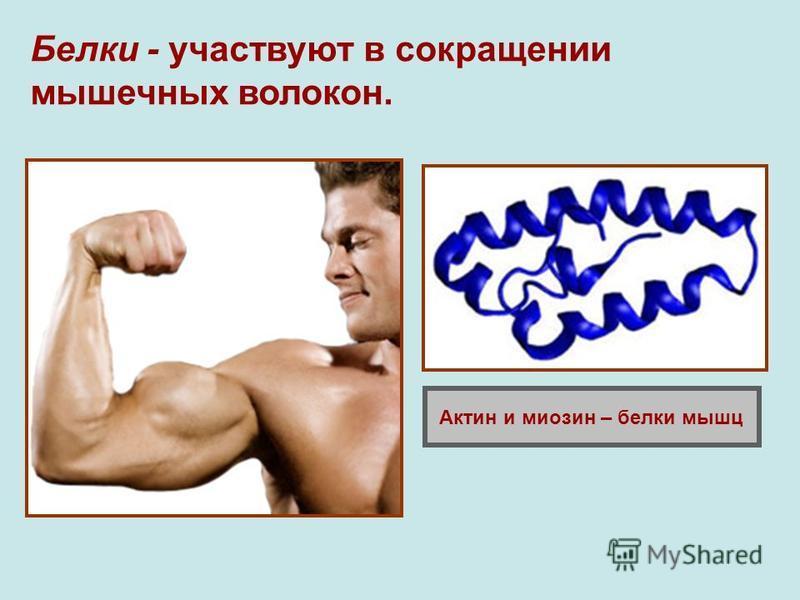 Белки - участвуют в сокращении мышечных волокон. Актин и миозин – белки мышц