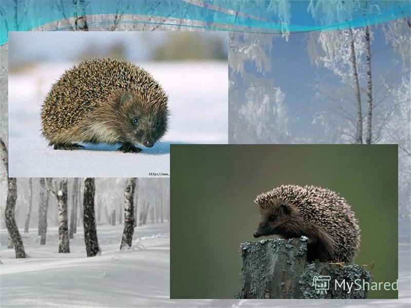 Сердитый недотрога Живёт в глуши лесной Иголок очень много, А нитки ни одной.