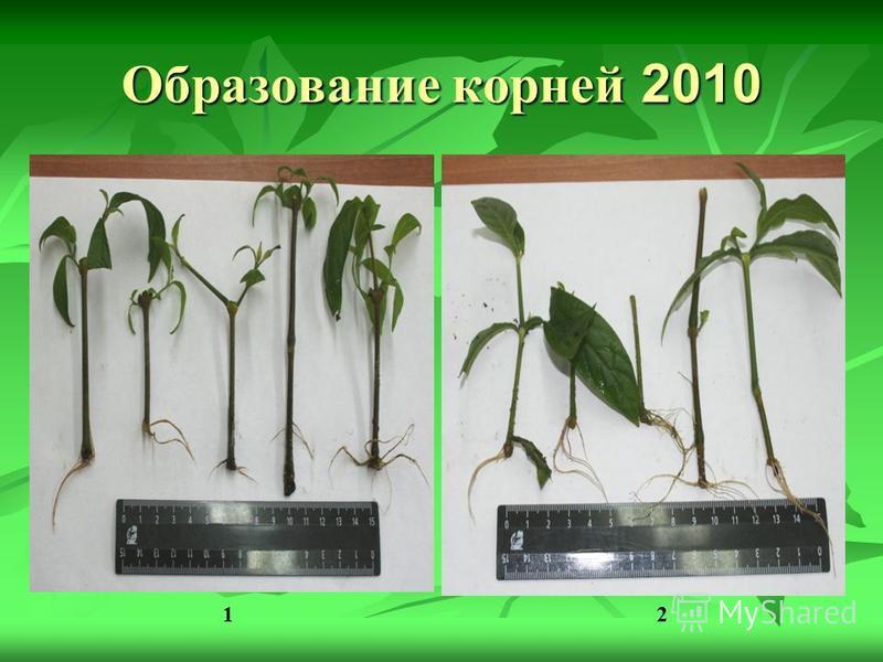 Образование корней 2010 12