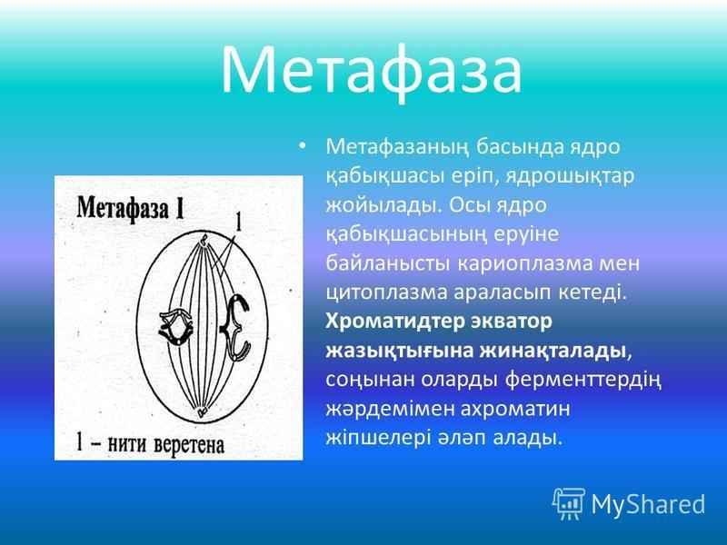 Метафаза Метафазаның басында ядро қабықшасы еріп, ядрошықтар жойылады. Осы ядро қабықшасының еруіне байланысты кариоплазма мен цитоплазма араласып кетеді. Хроматидтер экватор жазықтығына жинақталады, соңынан оларды ферменттердің жәрдемімен ахроматин