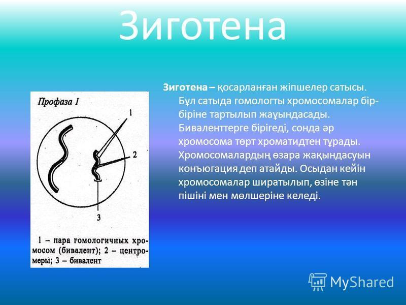 Зиготена Зиготена – қосарланған жіпшелер сатысы. Бұл сатыда гомологты хромосомалар бір- біріне тартылып жаұындасады. Биваленттерге бірігеді, сонда әр хромосома төрт хроматидтен тұрады. Хромосомалардың өзара жақындасуын конъюгация деп атайды. Осыдан к