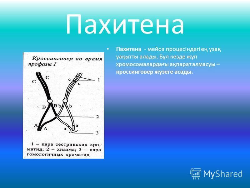 Пахитена Пахитена - мейоз процесіндегі ең ұзақ уақытты алады. Бұл кезде жұп хромосомалардағы ақпарат алмасуы – кроссинговер жүзеге асады.