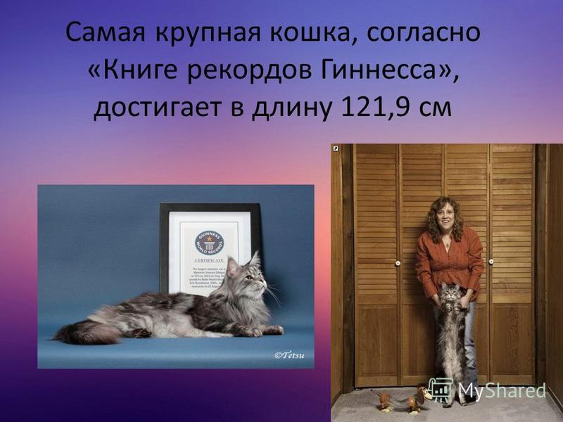 Самая крупная кошка, согласно «Книге рекордов Гиннесса», достигает в длину 121,9 см