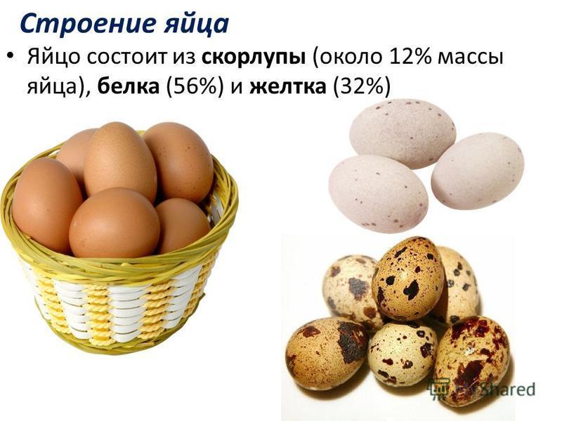 Строение яйца Яйцо состоит из скорлупы (около 12% массы яйца), белка (56%) и желтка (32%)