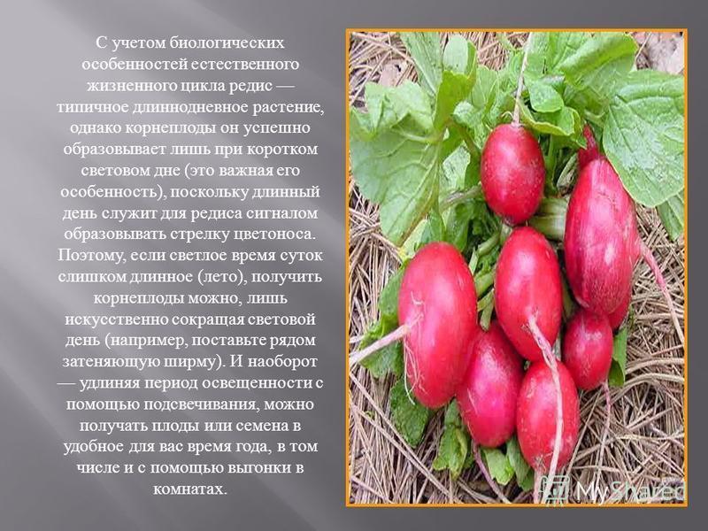 С учетом биологических особенностей естественного жизненного цикла редис типичное длиннодневное растение, однако корнеплоды он успешно образовывает лишь при коротком световом дне (это важная его особенность), поскольку длинный день служит для редиса
