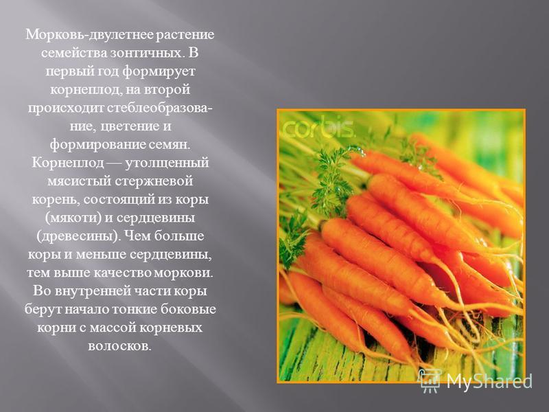 Морковь-двулетнее растение семейства зонтичных. В первый год формирует корнеплод, на второй происходит стебле образование, цветение и формирование семян. Корнеплод утолщенный мясистый стержневой корень, состоящий из коры (мякоти) и сердцевины (древес