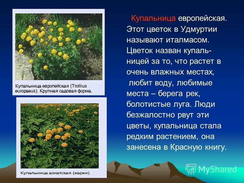 Купальница европейская. Этот цветок в Удмуртии называют италмасом. Цветок назван купель- ниццей за то, что растет в очень влажных местах, любит воду, любимые места – берега рек, болотистые луга. Люди безжалостно рвут эти цветы, купельница стала редки