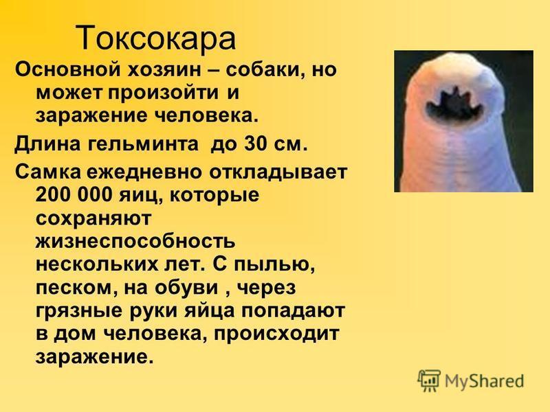 Токсокара Основной хозяин – собаки, но может произойти и заражение человека. Длина гельминта до 30 см. Самка ежедневно откладывает 200 000 яиц, которые сохраняют жизнеспособность нескольких лет. С пылью, песком, на обуви, через грязные руки яйца попа