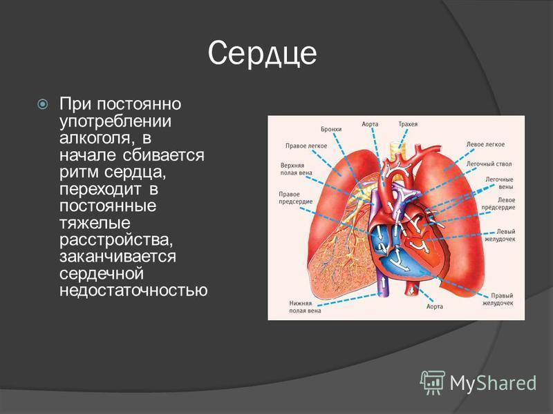 Сердце При постоянно употреблении алкоголя, в начале сбивается ритм сердца, переходит в постоянные тяжелые расстройства, заканчивается сердечной недостаточностью
