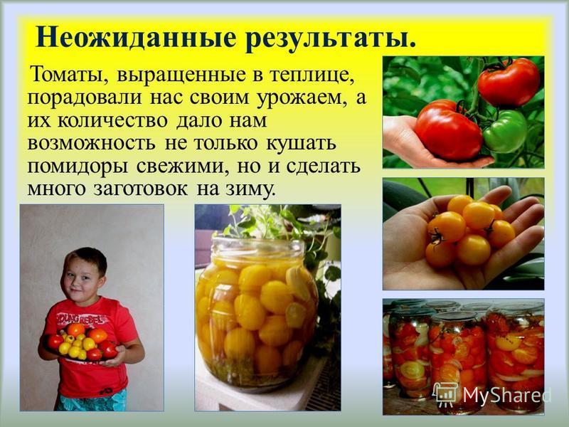 Неожиданные результаты. Томаты, выращенные в теплице, порадовали нас своим урожаем, а их количество дало нам возможность не только кушать помидоры свежими, но и сделать много заготовок на зиму.