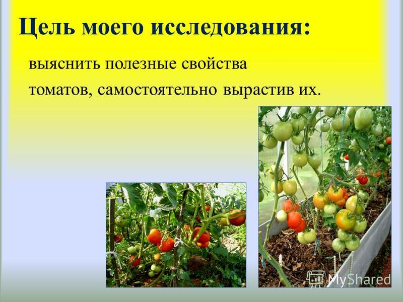 Цель моего исследования: выяснить полезные свойства томатов, самостоятельно вырастив их.