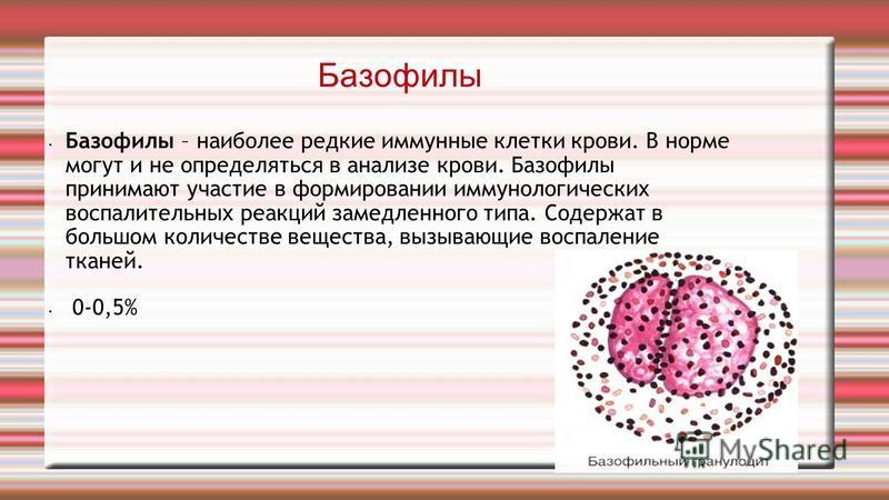 Базофилы Базофилы – наиболее редкие иммунные клетки крови. В норме могут и не определяться в анализе крови. Базофилы принимают участие в формировании иммунологических воспалительных реакций замедленного типа. Содержат в большом количестве вещества, в
