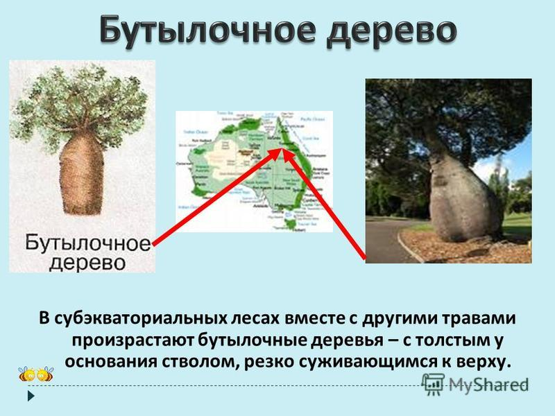 В субэкваториальных лесах вместе с другими травами произрастают бутылочные деревья – с толстым у основания стволом, резко суживающимся к верху.