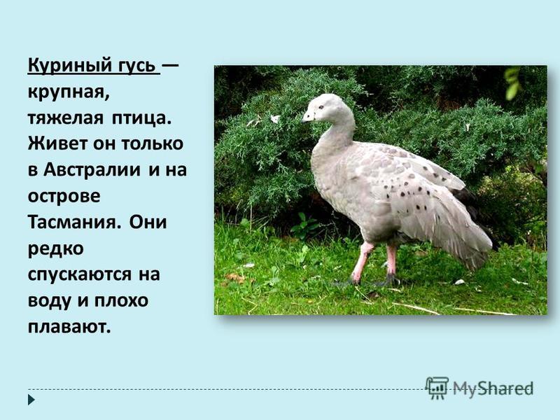 Куриный гусь крупная, тяжелая птица. Живет он только в Австралии и на острове Тасмания. Они редко спускаются на воду и плохо плавают.
