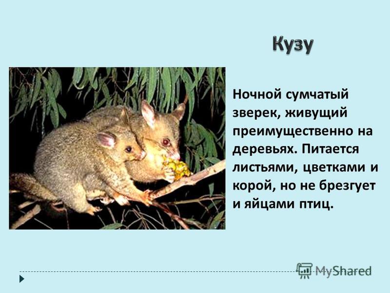 Ночной сумчатый зверек, живущий преимущественно на деревьях. Питается листьями, цветками и корой, но не брезгует и яйцами птиц.