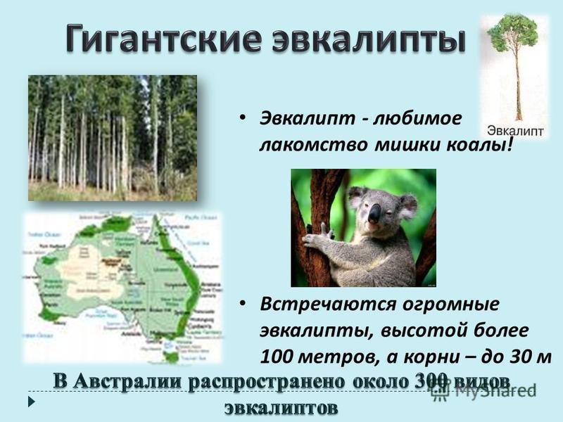 Эвкалипт - любимое лакомство мишки коалы ! Встречаются огромные эвкалипты, высотой более 100 метров, а корни – до 30 м