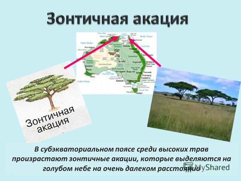 В субэкваториальном поясе среди высоких трав произрастают зонтичные акации, которые выделяются на голубом небе на очень далеком расстоянии