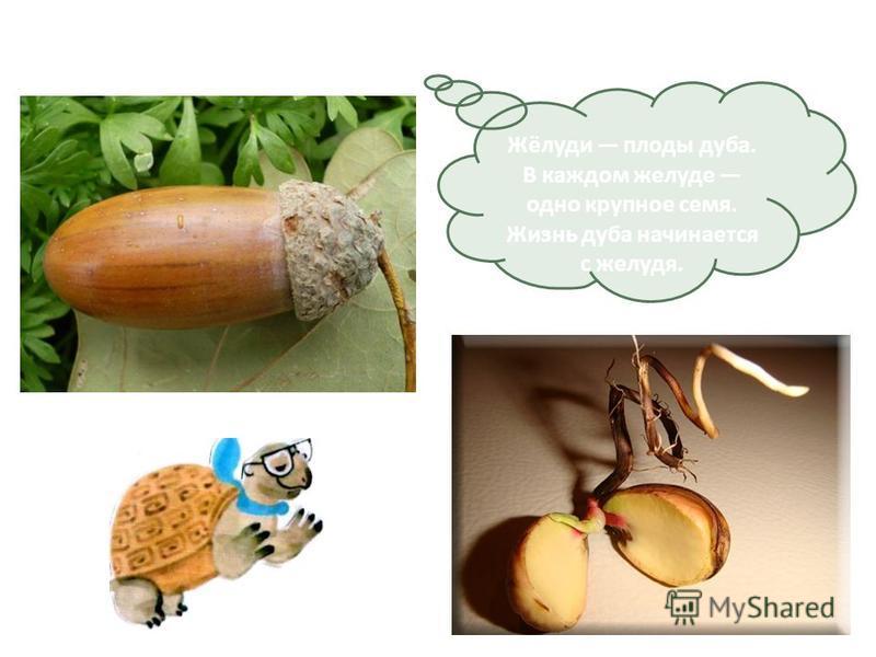 Жёлуди плоды дуба. В каждом желуде одно крупное семя. Жизнь дуба начинается с желудя.