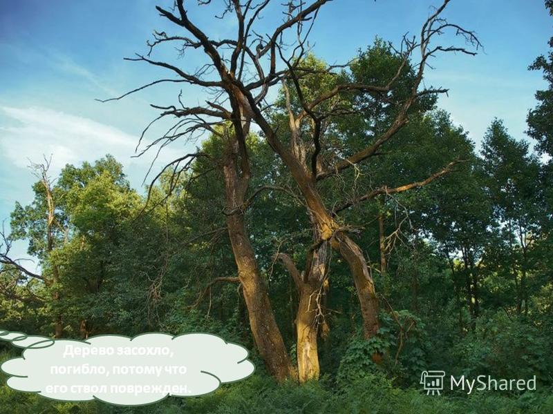 Дерево засохло, погибло, потому что его ствол поврежден.