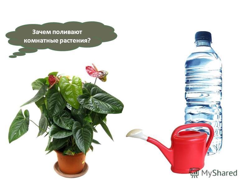 Зачем поливают комнатные растения?