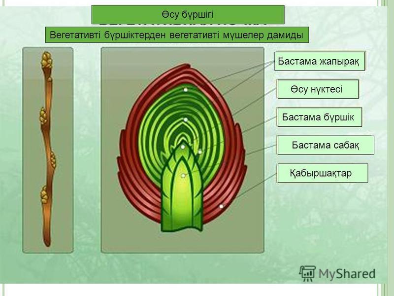 Өсу бүршігі Вегетативті бүршіктерден вегетативті мүшелер дамиды Бастама жапырақ Бастама бүршік Бастама сабақ Өсу нүктесі Қабыршақтар