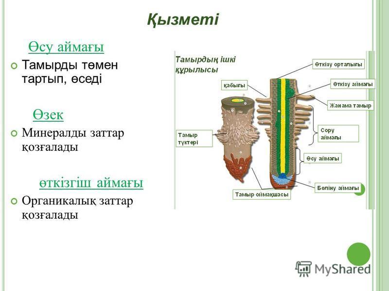 Өсу аймағы Тамырды төмен тартып, өседі Өзек Минералды заттар қозғалады өткізгіш аймағы Органикалық заттар қозғалады Қызметі