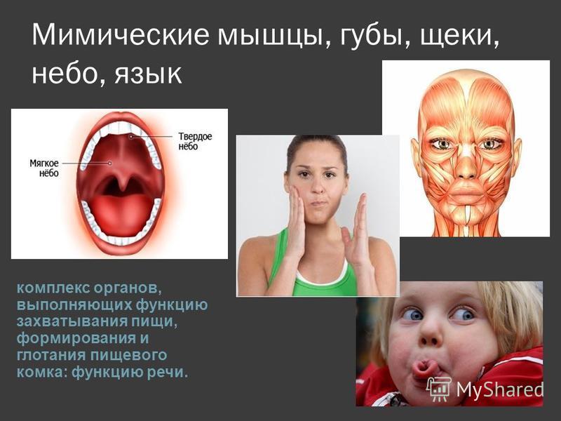 Мимические мышцы, губы, щеки, небо, язык комплекс органов, выполняющих функцию захватывания пищи, формирования и глотания пищевого комка: функцию речи.