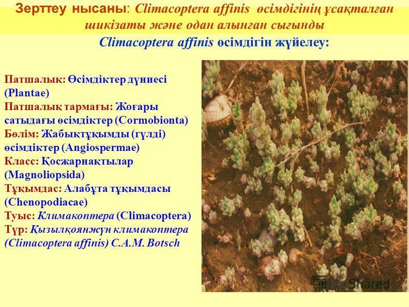 Зерттеу нисаны: Climacoptera affinis өсімдігінің ұсақталған шикізаты және одна алтынған сығынды 6 Climacoptera affinis өсімдігін жүйелеу: Патшалық: Өсімдіктер дүниесі (Plantae) Патшалық тармағы: Жоғары сатыдағы өсімдіктер (Cormobionta) Бөлім: Жабықтұ