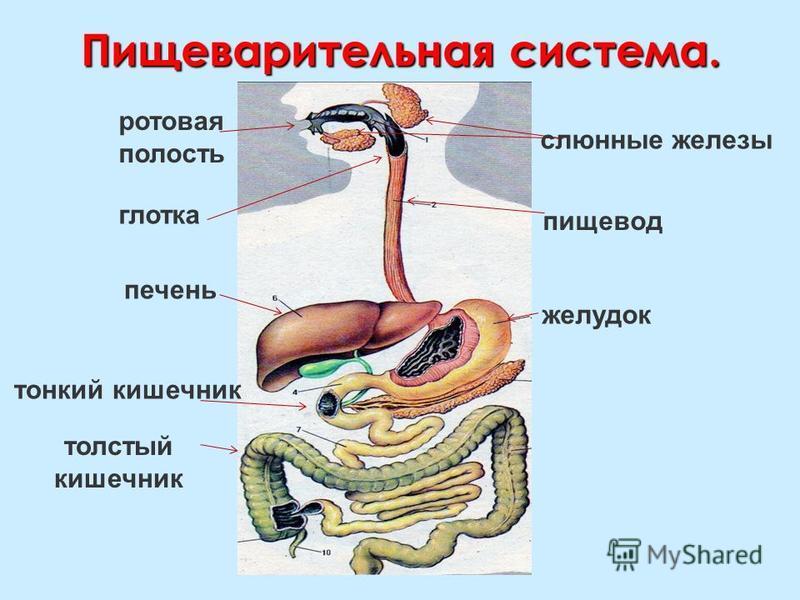 носоглотка носоглотка трахея трахея Дыхательная система носовая полость ротовая полость трахея легкое