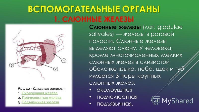 ВСПОМОГАТЕЛЬНЫЕ ОРГАНЫ ВСПОМОГАТЕЛЬНЫЕ ОРГАНЫ 1. СЛЮННЫЕ ЖЕЛЕЗЫ Слюнные железы (лат. gladulae salivales) железы в ротовой полости. Слюнные железы выделяют слюну. У человека, кроме многочисленных мелких слюнных желез в слизистой оболочке языка, неба,