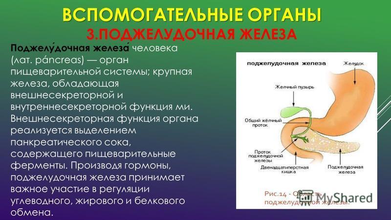 ВСПОМОГАТЕЛЬНЫЕ ОРГАНЫ ВСПОМОГАТЕЛЬНЫЕ ОРГАНЫ 3. ПОДЖЕЛУДОЧНАЯ ЖЕЛЕЗА Поджелудочная железа человека (лат. páncreas) орган пищеварительной системы; крупная железа, обладающая внешнесекреторной и внутренне секреторной функция ми. Внешнесекреторная функ