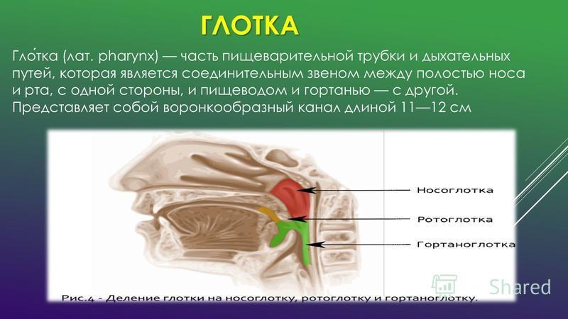 ГЛОТКА Глотка (лат. pharynx) часть пищеварительной трубки и дыхательных путей, которая является соединительным звеном между полостью носа и рта, с одной стороны, и пищеводом и гортанью с другой. Представляет собой воронкообразный канал длиной 1112 см