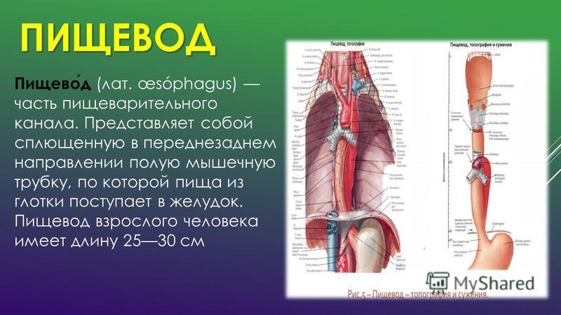 ПИЩЕВОД Пищевод (лат. œsóphagus) часть пищеварительного канала. Представляет собой сплющенную в переднезаднем направлении полую мышечную трубку, по которой пища из глотки поступает в желудок. Пищевод взрослого человека имеет длину 2530 см