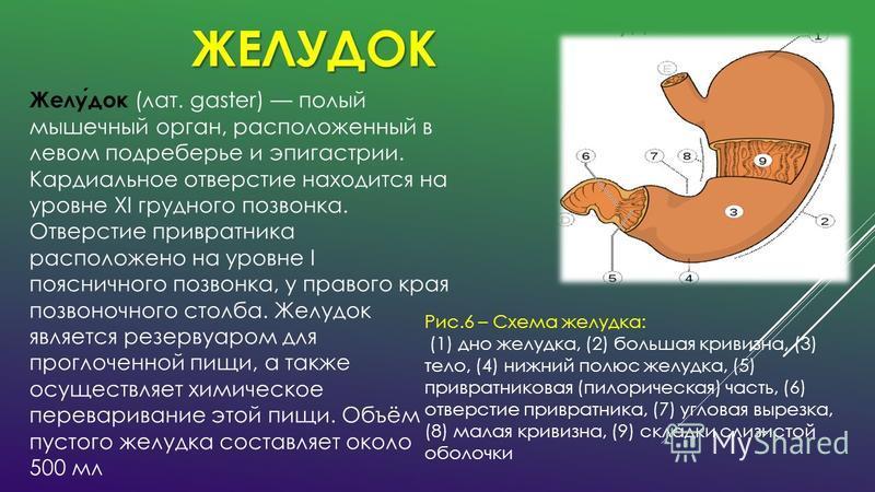 ЖЕЛУДОК Рис.6 – Схема желудка: (1) дно желудка, (2) большая кривизна, (3) тело, (4) нижний полюс желудка, (5) привратниковая (пилорическая) часть, (6) отверстие привратника, (7) угловая вырезка, (8) малая кривизна, (9) складки слизистой оболочки Желу