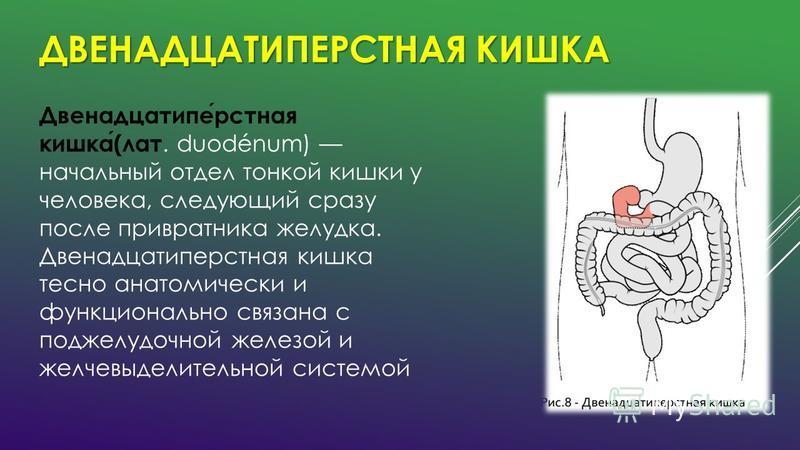 ДВЕНАДЦАТИПЕРСТНАЯ КИШКА Двенадцатиперстная кишка(лат. duodénum) начальный отдел тонкой кишки у человека, следующий сразу после привратника желудка. Двенадцатиперстная кишка тесно анатомически и функционально связана с поджелудочной железой и желчевы