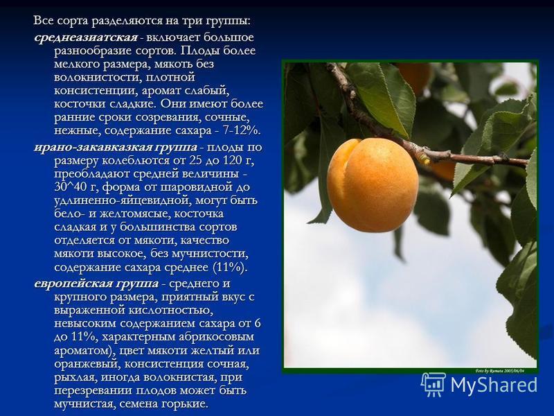 Все сорта разделяются на три группы: среднеазиатская - включает большое разнообразие сортов. Плоды более мелкого размера, мякоть без волокнистости, плотной консистенции, аромат слабый, косточки сладкие. Они имеют более ранние сроки созревания, сочные