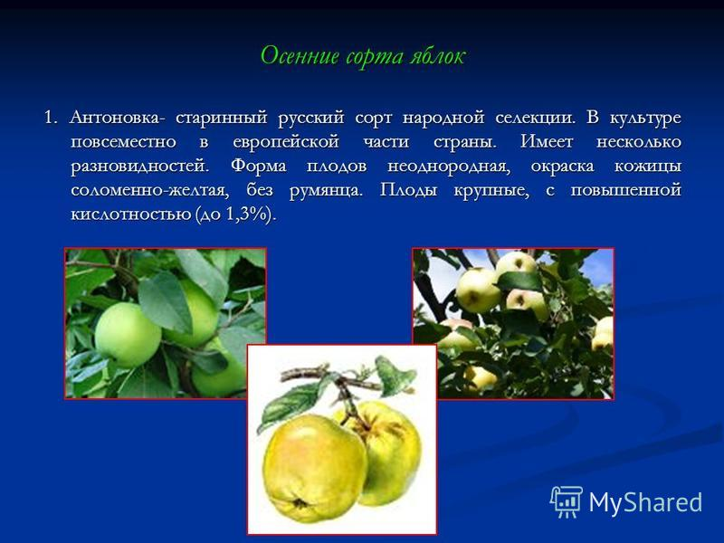 Осенние сорта яблок 1. Антоновка- старинный русский сорт народной селекции. В культуре повсеместно в европейской части страны. Имеет несколько разновидностей. Форма плодов неоднородная, окраска кожицы соломенно-желтая, без румянца. Плоды крупные, с п