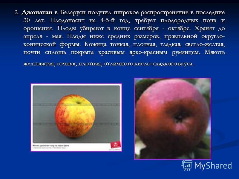 2. Джонатан в Беларуси получил широкое распространение в последние 30 лет. Плодоносит на 4-5-й год, требует плодородных почв и орошения. Плоды убирают в конце сентября - октябре. Хранят до апреля - мая. Плоды ниже средних размеров, правильной округло