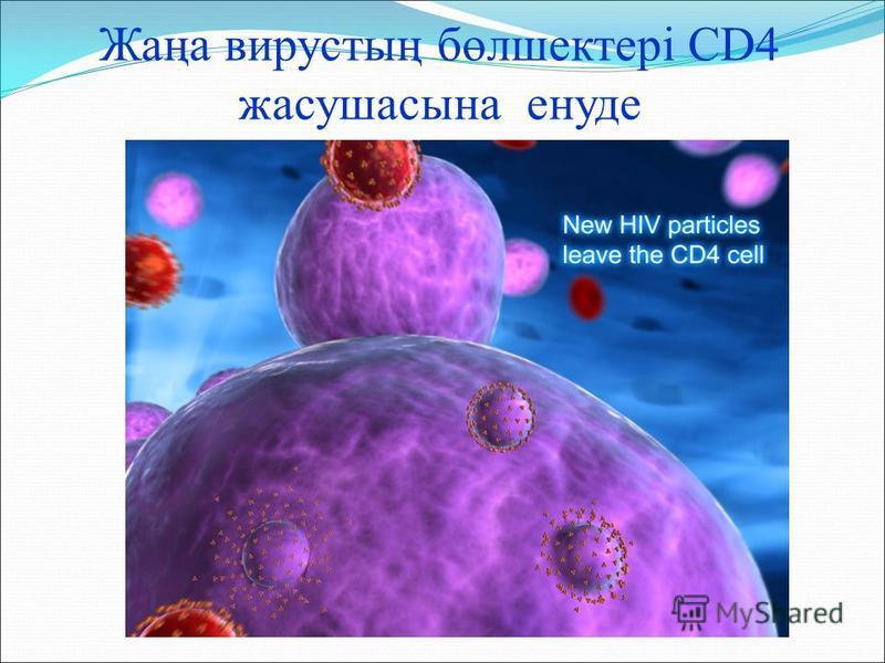 Жаңа вирустың бөлшектері CD4 жасушасына енуде